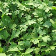 Cress Greek 500 - seeds / 3500 seeds